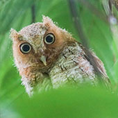 Vermiculated Screech-Owl Chick