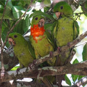 Red-throated Parakeet