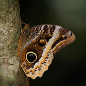 Owl-eye Butterfly