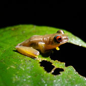 Honduran Brook Frog