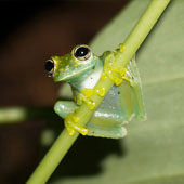 Granular Glass Frog