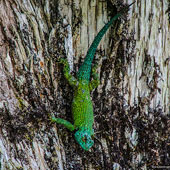 Green Spiny Lizard or Emerald Swift
